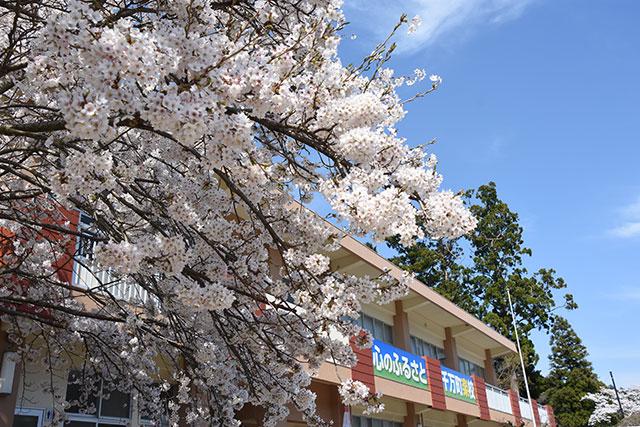 千万町楽校桜