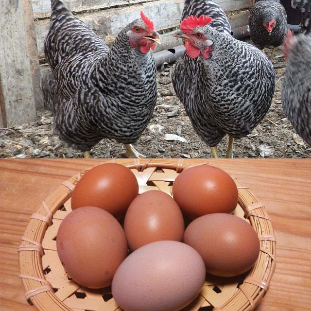 岡崎おうはんの卵