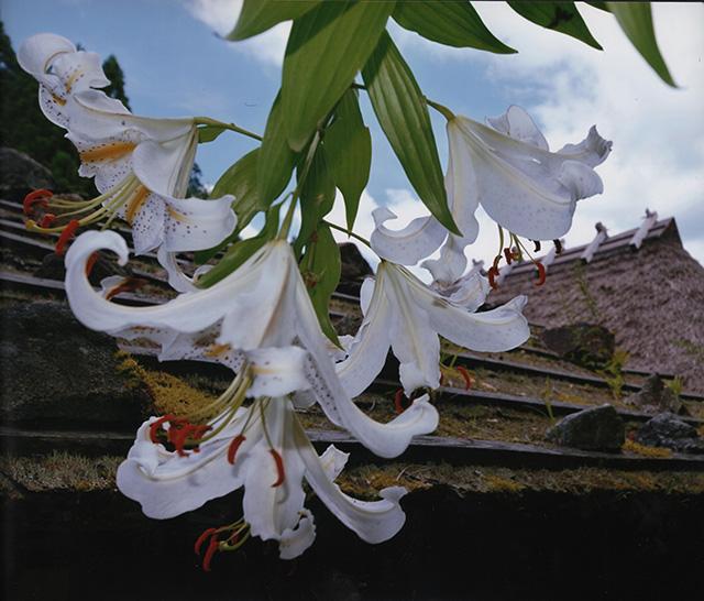 「茅葺の里に咲く」丸山 蔵司