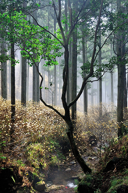 「みつまたの咲く森」池田 宏