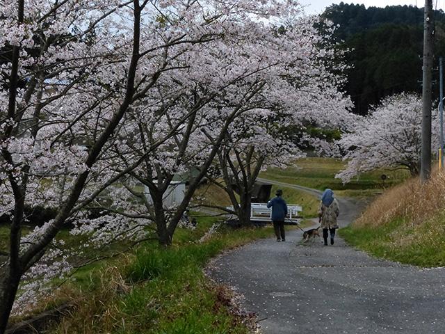 「木下の桜並木」浅井 明