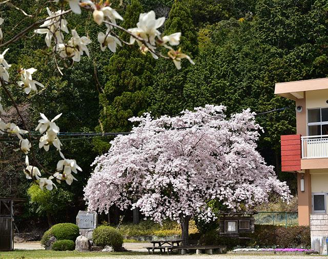 「記念桜」本多 忠夫