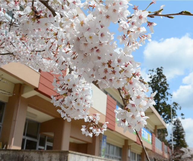 「満開の桜」柴田 豊