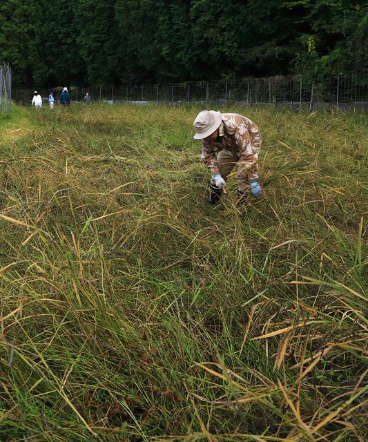 「古代米の刈り取り」青井 純一